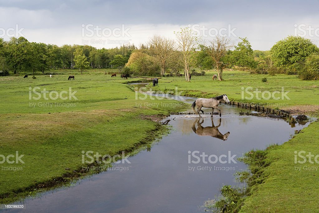 New Forest Pony Crossing River - Royalty-free Animal Themes Stock Photo