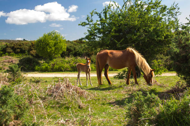 New forest pony grazing with foal stock photo
