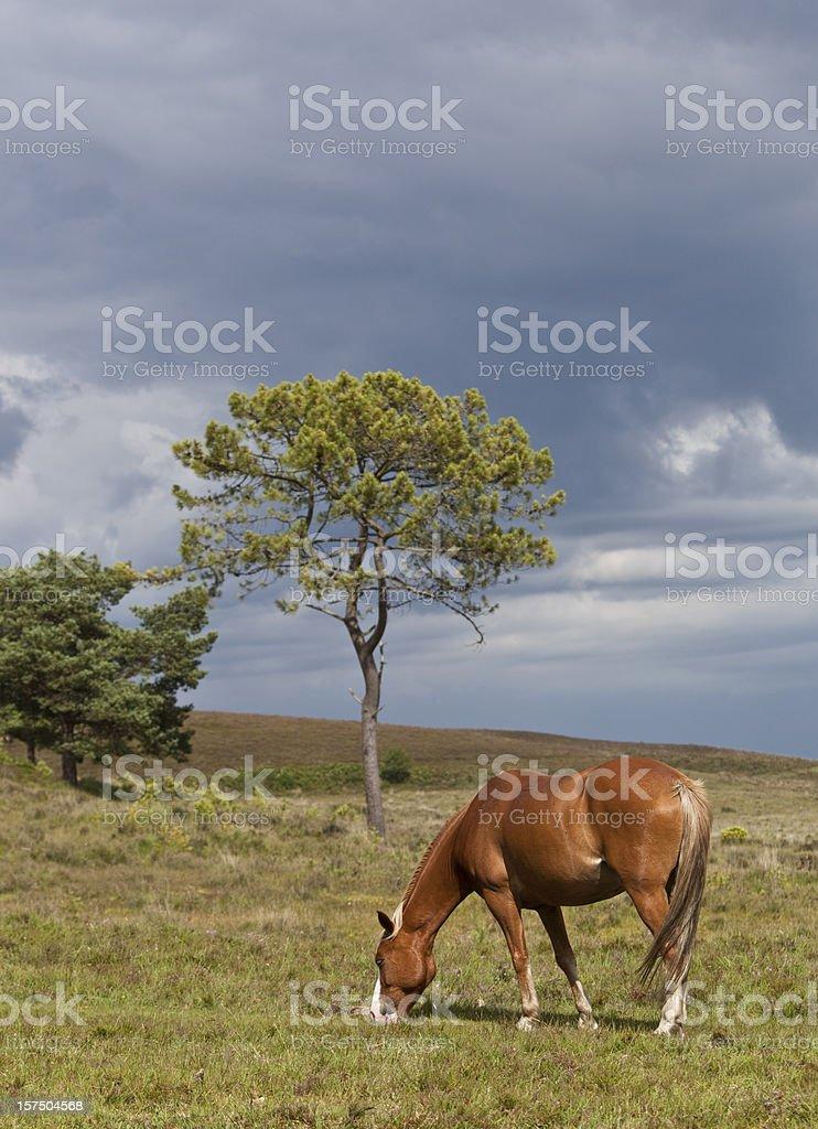 New Forest pony stock photo