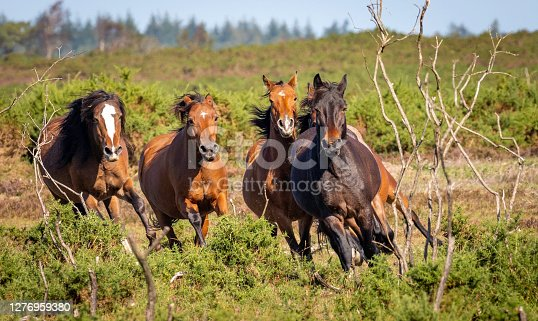 istock New Forest Pony Series 1276959380