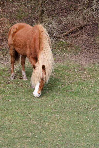 new forest pony with palomino colouring grazing - whiteway pony stock photos and pictures