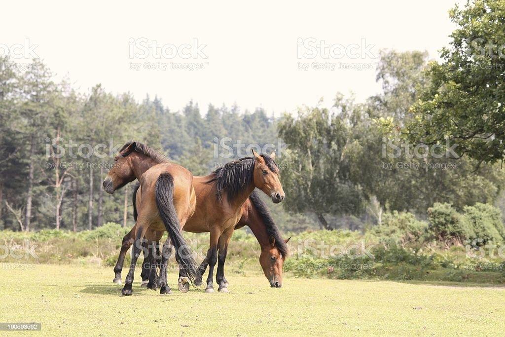 new forest wild bay horses stock photo