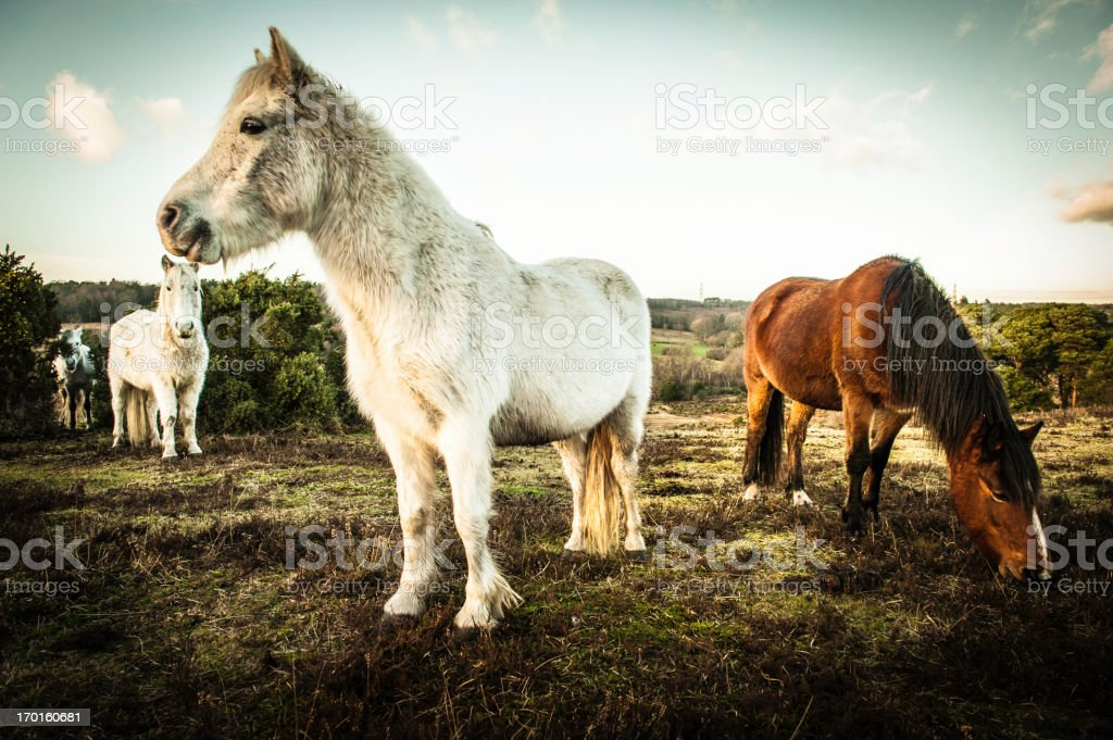 New Forest wild Ponies stock photo