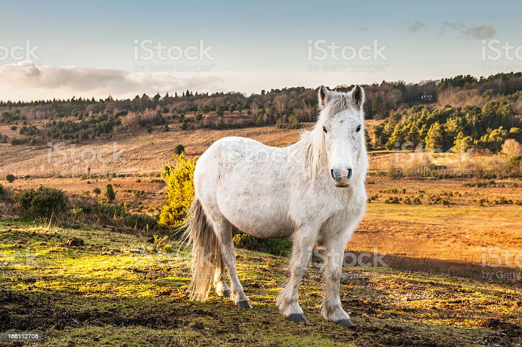 New Forest wild Pony stock photo
