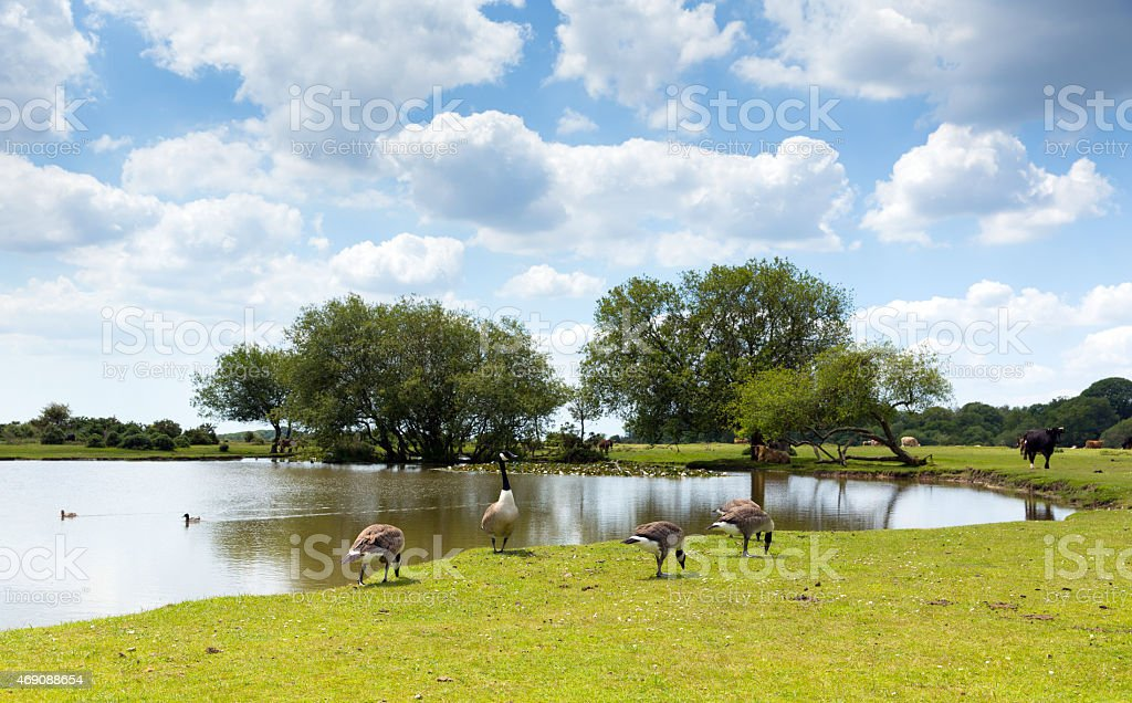 New Forest wildlife geese by lake summer day Hampshire uk stock photo