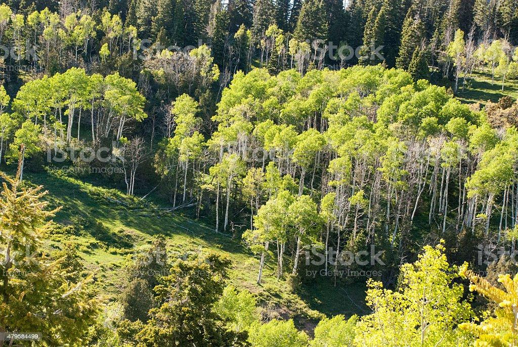 New Green Aspen in Spring near Cedar Canyon Utah stock photo