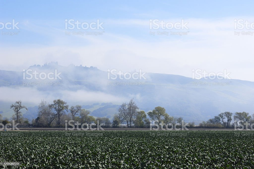 New Growth Broccoli Field royalty-free stock photo