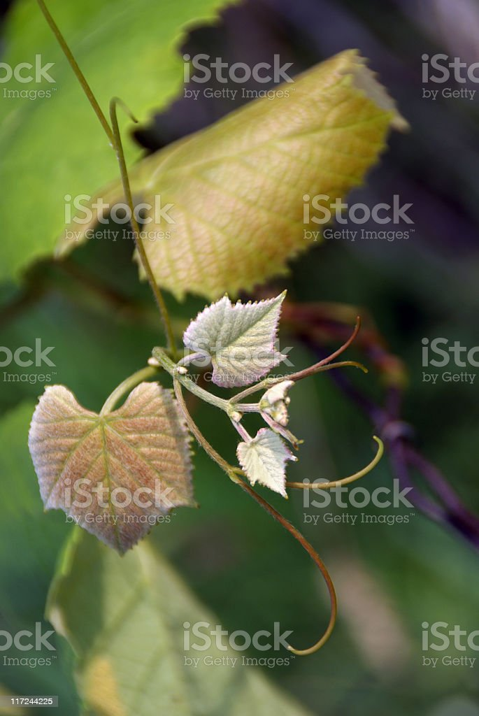 New Growth Grapevine Sprig royalty-free stock photo