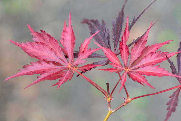 new growth Japanese maple leaves stock photo