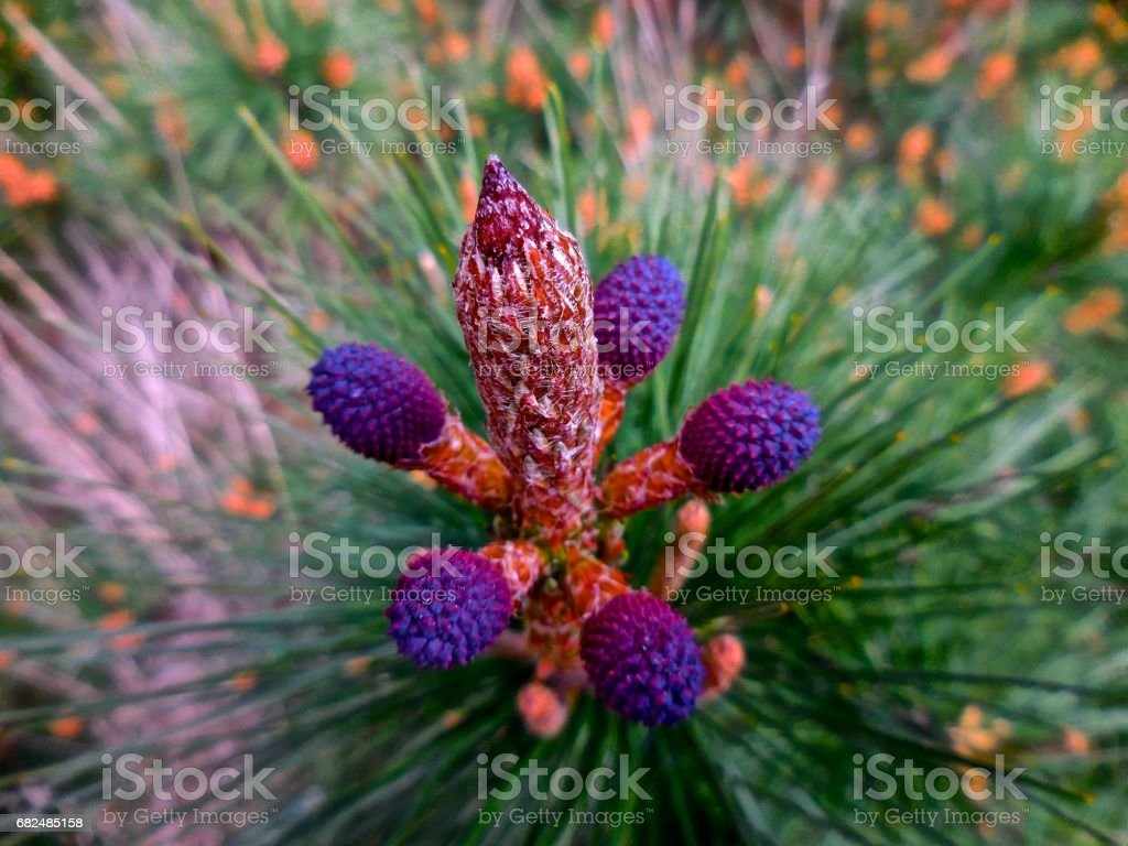 New growth on a pine tree royalty-free stock photo