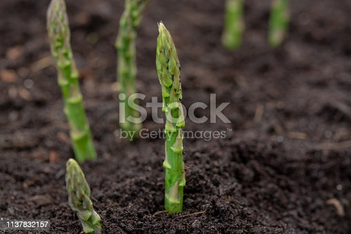 New harvest of green asparagus vegetable in spring season, green asparagus growing up from the ground on farm close up
