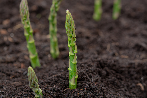 istock New harvest of green asparagus vegetable in spring season, green asparagus growing up from the ground on farm 1137832157