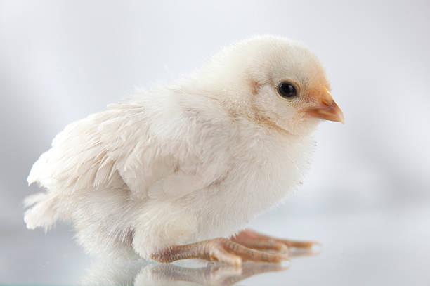 Neue hatch Huhn stehend auf glass.GN – Foto