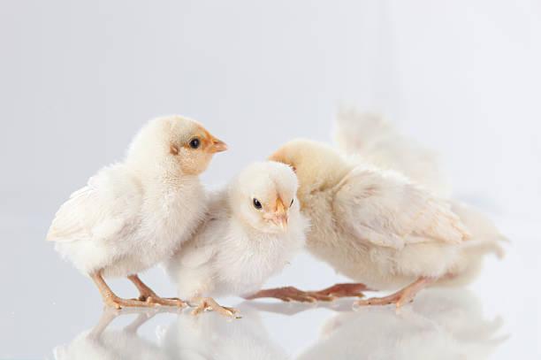 Neue hatch Hühner auf glass.GN – Foto