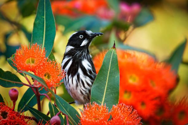 new holland honeyeater-phylidonyris novaehollandiae-australische vogel met gele kleur in de vleugels voeden op de rode bloei. australië, tasmanië - ornithologie stockfoto's en -beelden