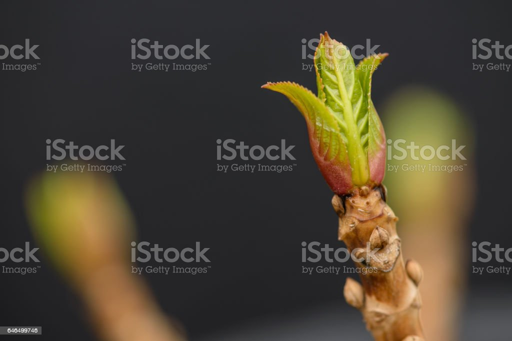 New Hydrangea Plant Bud in Early Springtime royalty-free stock photo