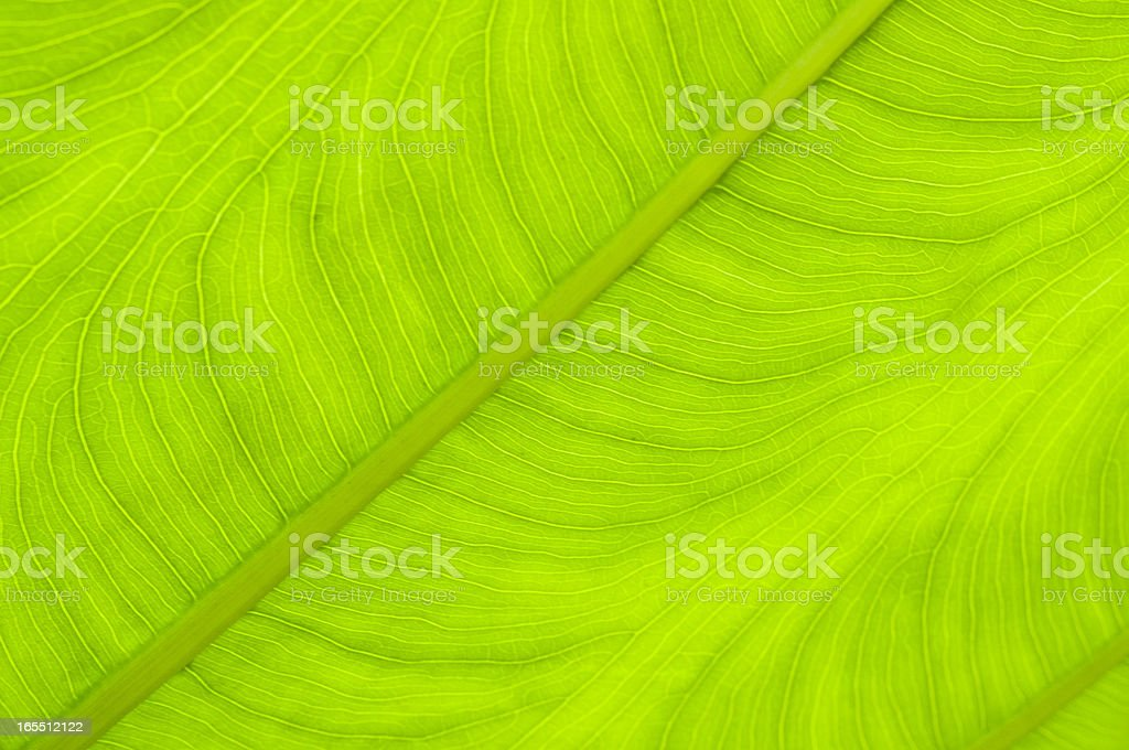new leaf of taro royalty-free stock photo