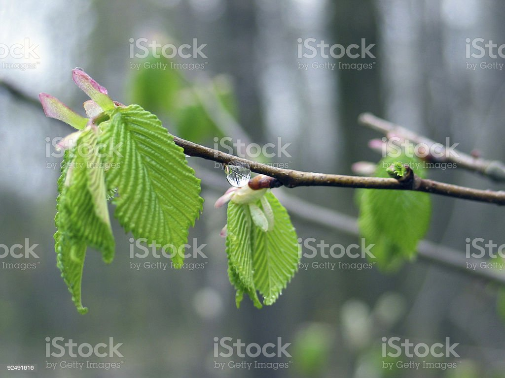 New leaves after a rainy day royalty-free stock photo