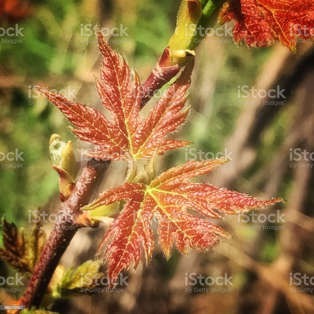 New leaves April 217 stock photo