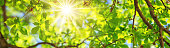 New leaves on green spring background. Fresh foliage in the forest in nature with beautiful sunlight