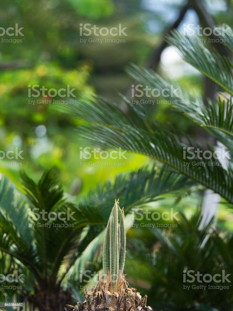 New Leaves of Sago Palm begin to Bloom stock photo