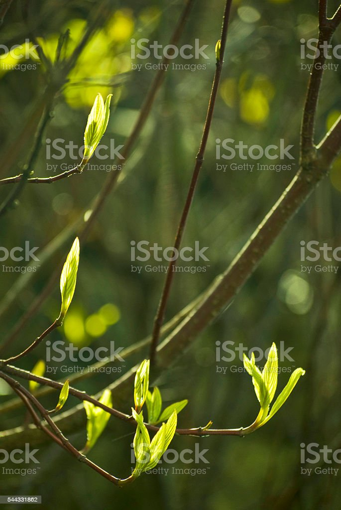 New leaves of spring, Vancouver, British Columbia stock photo