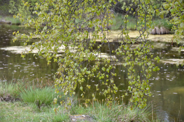 New leaves on a birch tree by a small pond stock photo