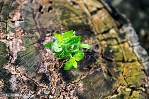 istock New life from old stump 826737380