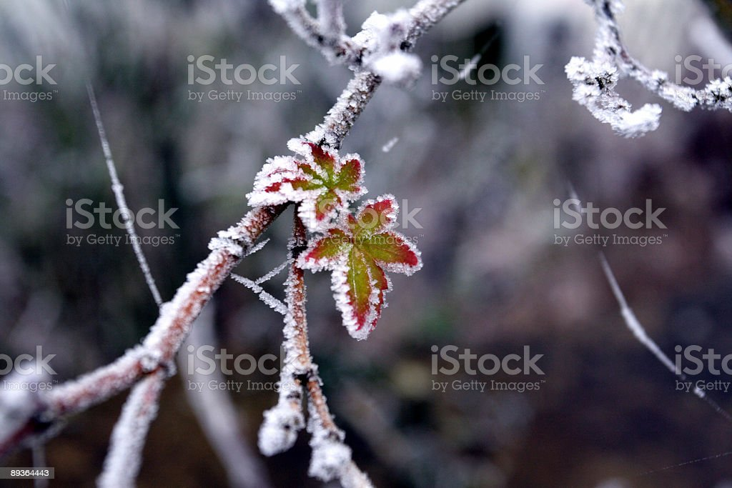 New life - Frosty New leaves in the frost Bud Stock Photo