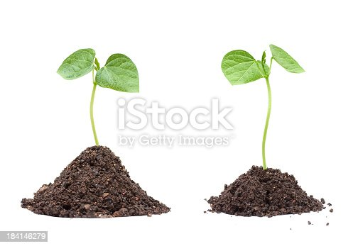 Soybean seedling in soil isolated on white background