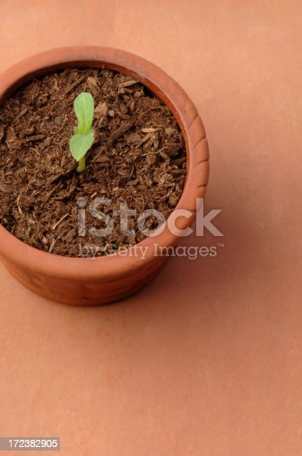 Very Young Seedling in Clay Pot.