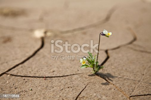 Flower on a cracked soil