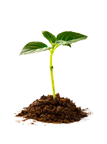 New life Newborn small green plant. sapling stock pictures, royalty-free photos & images