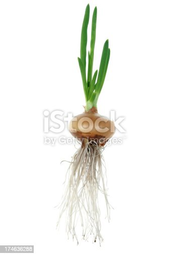 Close up of the sprouting onions.