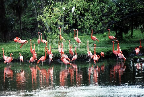 A flock of Pink flamingos on pond in New Orleans Louisiana, USA