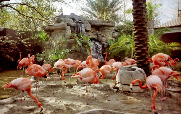 new orleans the flamingo march 2002 - animals in captivity stock pictures, royalty-free photos & images