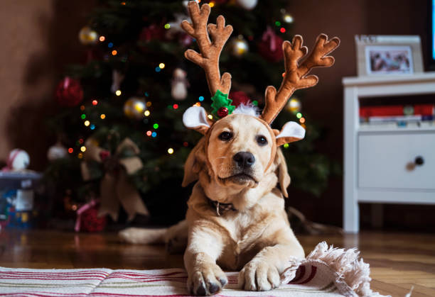 New pet for Christmas New pet for Christmas funny christmas stock pictures, royalty-free photos & images