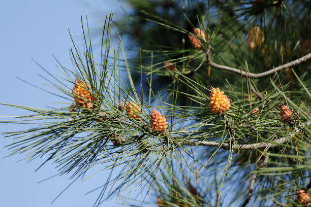 New Pine Cones Growing stock photo