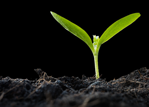 1094263056 istock photo New plant growing out of soil,isolated on black background with path,agriculture 687658630