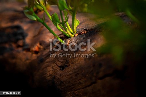 New shoots burst through bark to regenerate new plant growth only weeks after a bushfire devastated the area. Photo taken in Kangaroo Island in the wake of the Australian bushfire disaster, January 2020.