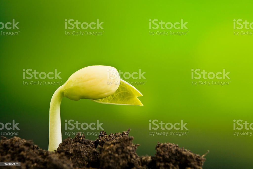 New plant seed germinting from the soil stock photo