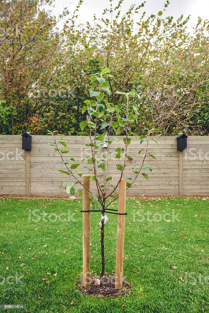 New planted apple tree in a garden stock photo