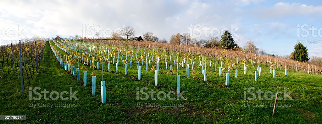 new planted vineyard with protective plastic covers stock photo