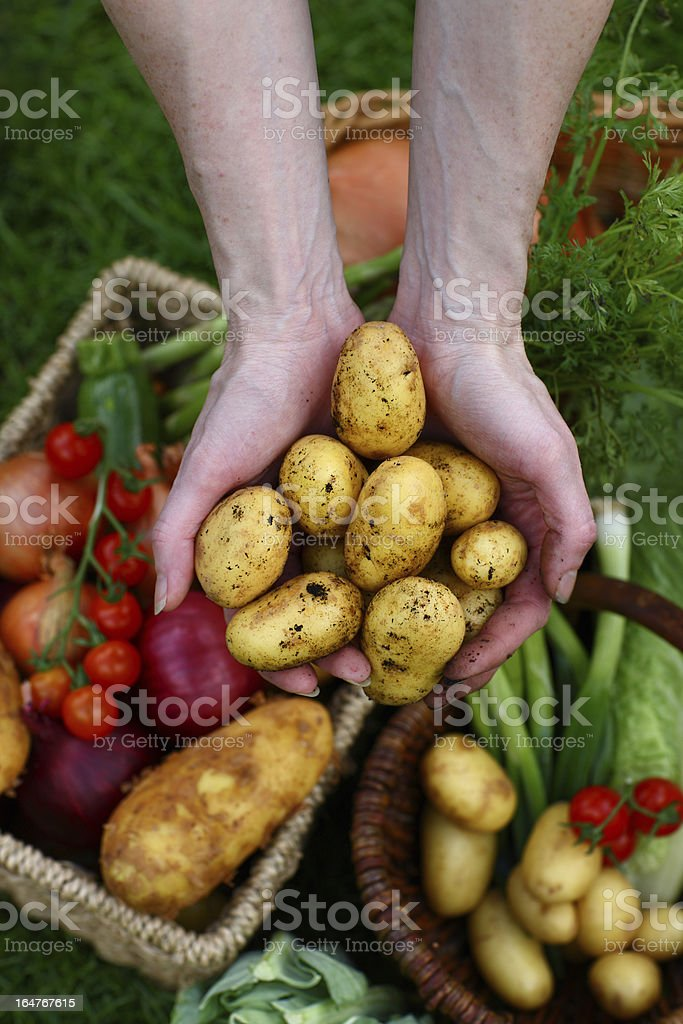 New potatoes in hands royalty-free stock photo