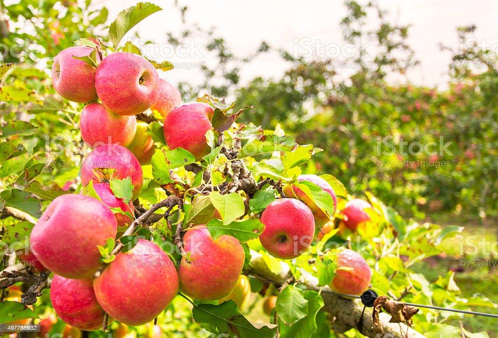 New season Apples stock photo