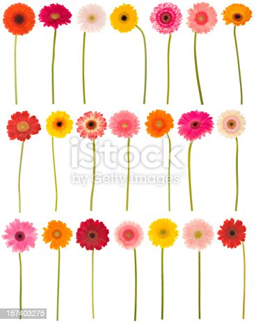 Large collection of isolated Gerbera daisies. Montage.