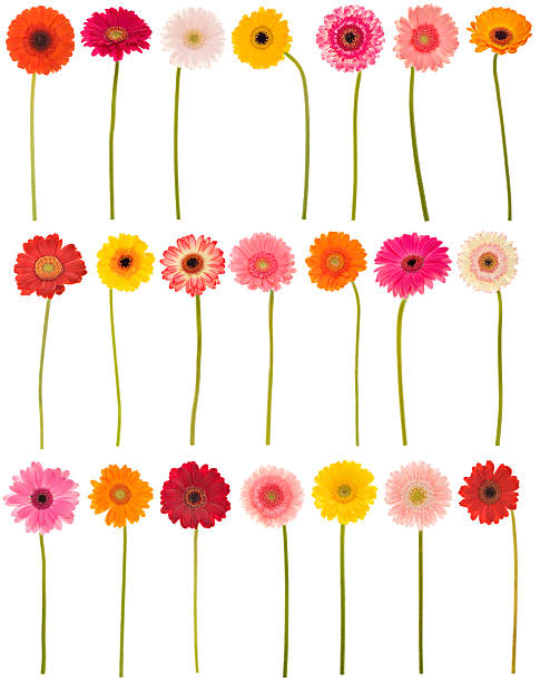 New selection of isolated Gerberas stock photo
