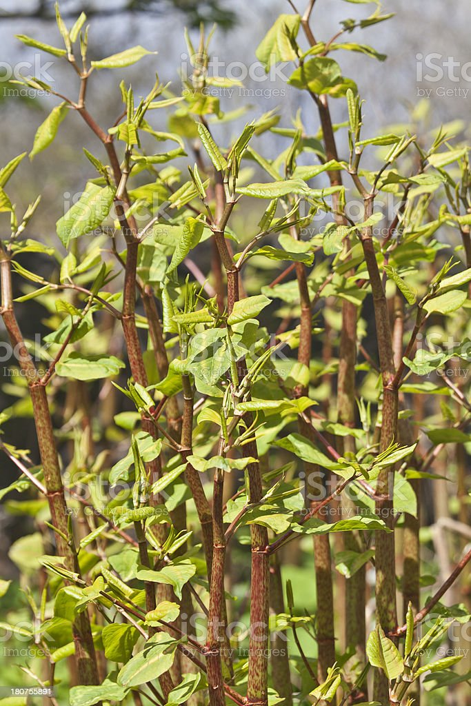 New shoots of Japanese Knotweed (Fallopia japonica) Freshly growing clump of invasive Japanese Knotweed in early Spring. Bunch Stock Photo