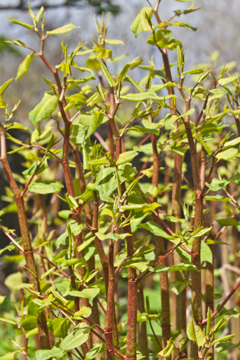 New Shoots Of Japanese Knotweed Stock Photo - Download Image Now