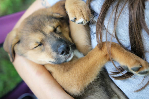New Sleeping Mix Breed Puppy in Owners Arms stock photo